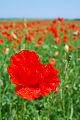 Flores do campo, Papoila vermelhos