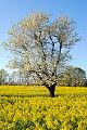 Manzano floreciente