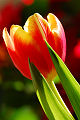 Tulipan, zdj�cia tulipan�w