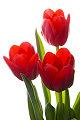 Dzie� Kobiet, kwiaty na Dzie� Kobiet