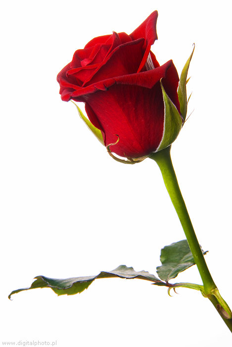 Rosas rojas hermosas rosas - Rosas rosas hermosas ...