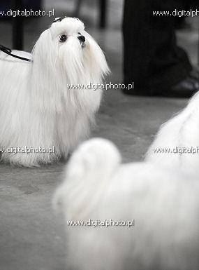 Malta�czyki, psy przed wystaw�