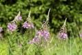 Violeta, flores silvestres