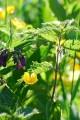 Plantas medicinais, flores silvestre