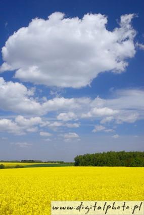 Vackra landskap raps blomning gul vår himmel moln