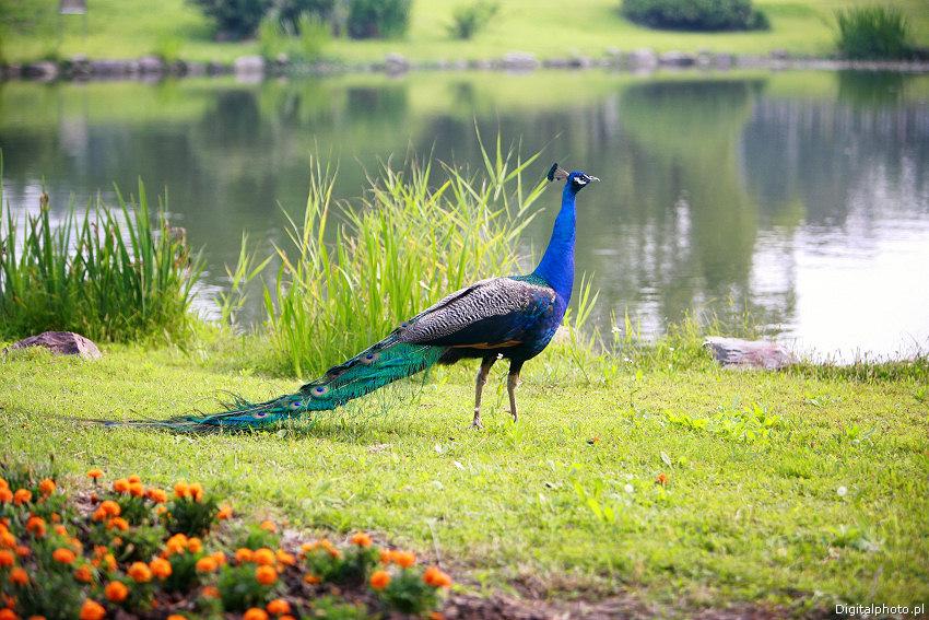Jardim aves, Pav?o