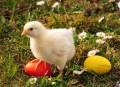 Wielkanoc, kartki wielkanocne