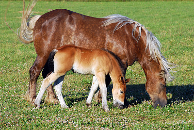 Draft horses, a broodmare and foal