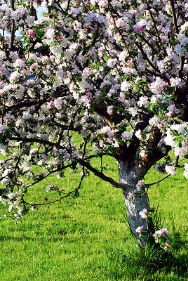 Orchard in spring, spring views