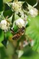 Kwiaty malin i pszczo�a