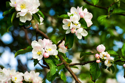 Apple blossom, apple tree, apple flowers