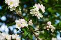 Jab�o�, kwiaty jab�oni