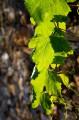 Winoro�l, zdj�cia winoro�li, li�cie