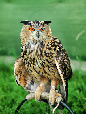 Owl photos, Eurasian Eagle-owl