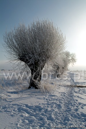 Wilgen - Winter landschappen