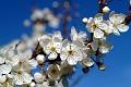 Árvore nos folwers - primavera - árvores florescendo - flores