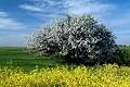 Wiosna - Kwitn�ce drzewo - Rzepak