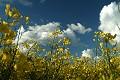 Wiosna, rzepak