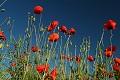 Flores del prado - amapola