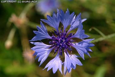 Kwiaty polne - chabry
