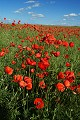 Flores del pa�s - amapolas