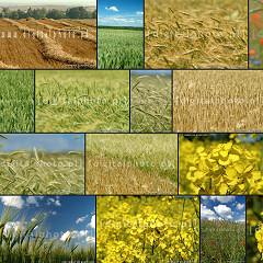 Zboża i uprawy