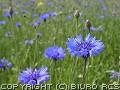Polne kwiaty - chabry