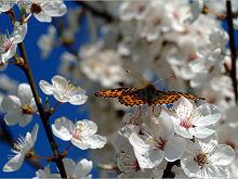 tapety - Wiosna - kwiaty na drzewach owocowych
